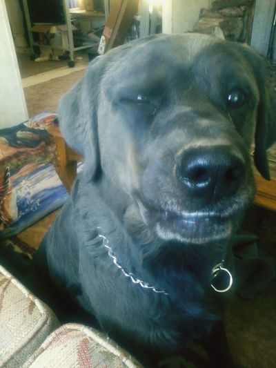 I Love My Dog Blind Puppy Chocolate Lab Roti Mix Breed Winking Animal Lover Rolled In Dirt
