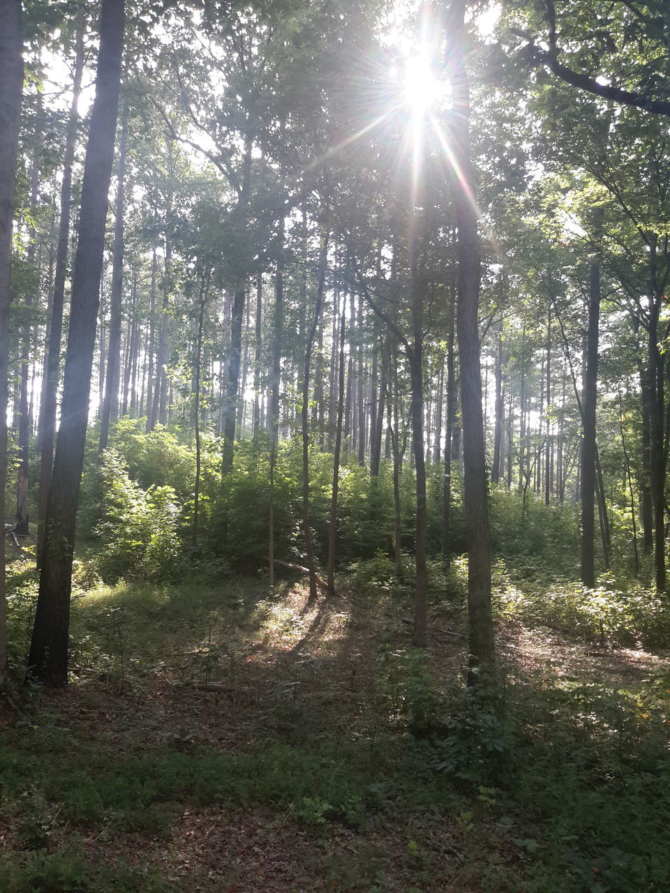 forest, sunbeam, nature, tree, tranquility, sunlight, sun, no people, beauty in nature, lens flare, tranquil scene, scenics, growth, outdoors, day, landscape, tree trunk