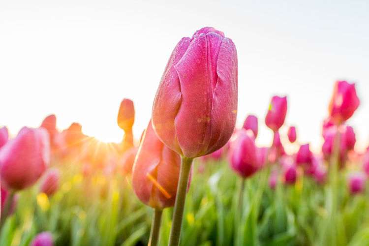 Close-up of pink tulips on field against clear sky