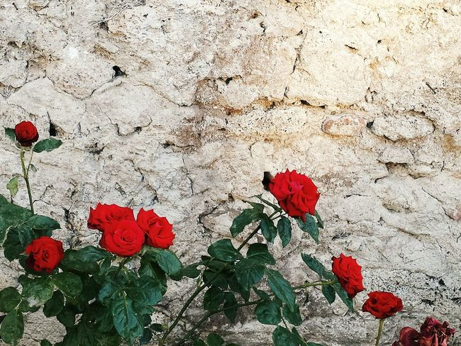 Red Roses Wall Day Leaf Close-up Nature Backgrounds Freshness Beauty In Nature Nature_collection Flowers Nature Photography Scenics Flowers_collection The Week On Eyem EyeEm Best Shots EyeEm Gallery EyeEmBestPics Eye4photography