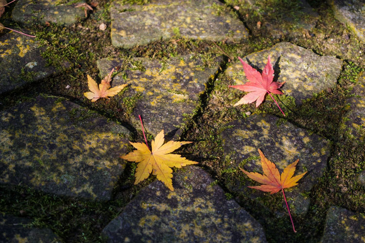 Japan Japan Photography Red Winter Autumn Beauty In Nature Change Close-up Day Japanese Street Leaf Maple Maple Leaf Nature No People Outdoors Paving Stone Stone Stone Pavement Stone Street Stone Streets Streetphotography Yellow EyeEmNewHere