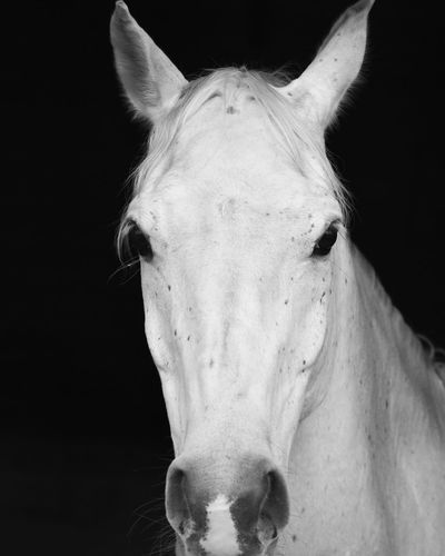 EyeEm Selects Horse One Animal Animal Themes Domestic Animals Animal Head  Close-up Black Background