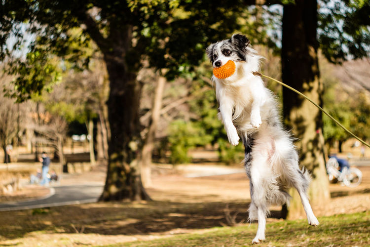 A beautiful Border Collie playing catch in the park. Border Collie Dog Walking EyeEmNewHere Fun Happiness Pets Corner Adorable Animal Themes Catch The Moment Cute Day Dog Domestic Animals Fetch Flying Jumping Mammal Nature No People One Animal Outdoors Park Pets Playing Tree