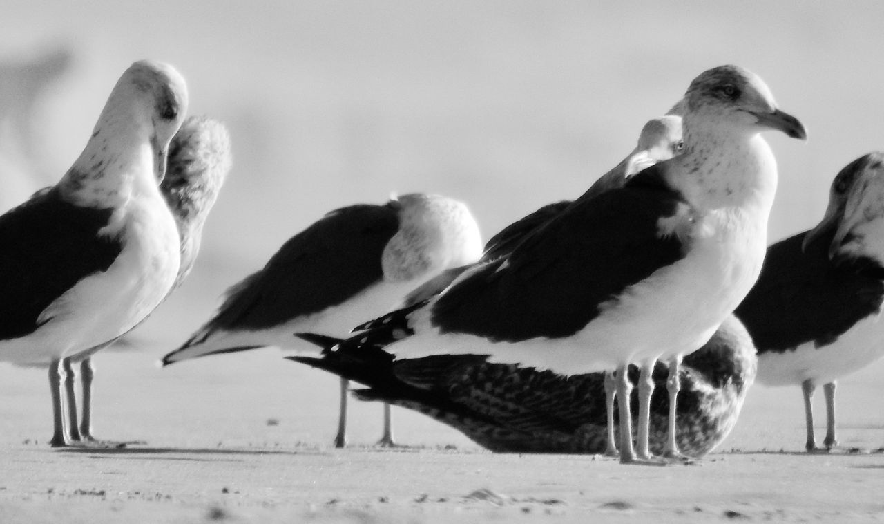 bird, animal themes, animals in the wild, animal wildlife, no people, nature, day, outdoors, seagull, spread wings, togetherness, beach, close-up