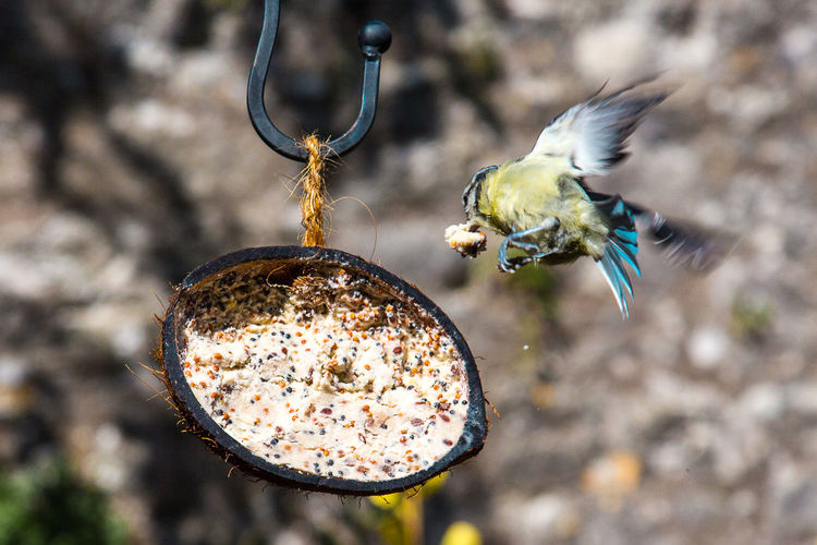 Bluetit flying by feeder