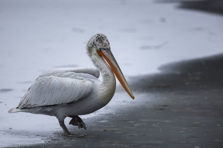 Dalmatian pelican / Pelecanus crispus [Canon EF 300mm f/2.8 L IS II USM] Animal Themes Animal Vertebrate Animals In The Wild One Animal Bird Animal Wildlife Water No People Nature Focus On Foreground Day Beak Pelican Outdoors Animal Body Part Water Bird White Color Dalmatian Pelican Winter Wintertime Cold Weather Icy Day Icy Lake Ice