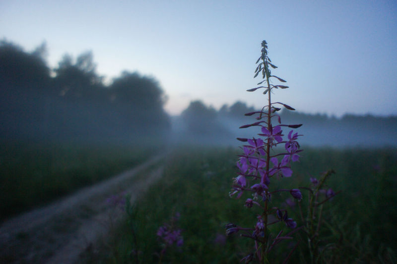 Morning mist on the village road Beauty In Nature Close-up Field Flower Flower Head Focus On Foreground Fog Fragility Freshness Growth Nature No People Plant Road