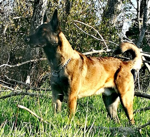 Animal Themes Grass Mammal One Animal Domestic Animals Dog No People German Shepherd Outdoors Tree Pets Day Nature EyeEm Best Shots Animal Body Part Dog Love Dog Photography Dog Of The Day First Eyeem Photo Dogs Of EyeEm Malinoislove Malinoislover Malinois Dog Malinoisofeyeem Dogphoto EyeEmNewHere Piano Moments Flying High