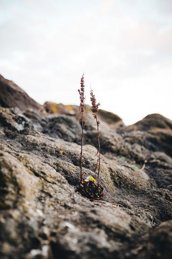 Close-up of dry plants on rock against sky