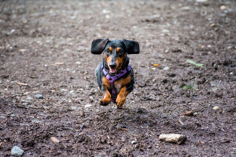 Canine Dachshund Dog Domestic Domestic Animals Jumping Dog One Animal Pets Puppy Running First Eyeem Photo