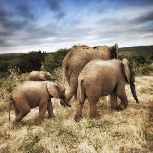 African Elephant Family Animal Themes Sky Young Animal Mammal Nature Cloud - Sky Animal Family Elephant Day No People Outdoors Grass Beauty In Nature Family Group Togetherness Africa African Elephant Walk Walking