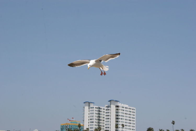 Seagull in Flight at Santa Monica PIer Clear Sky Day Los Angeles, California Nature Outdoors Santa Monica Santa Monica Beach Santa Monica California Santa Monica Coast Santa Monica Pier Santa Monica, California Seagull Seagull And Sky Seagull At The Sea SEAGULL IN FLIGHT Seagull In Focus Seagull Serenity Seagull ın Flıght Seagull, Birds, Flight, Fly, Hover, Feathers, Wings, Beaks, Span, Seagulls And Sea Seagulls Flying Seagulls In Flight Seagulls In The City Seagulls, Beach Sky