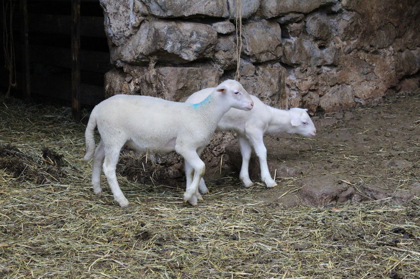 Mammal Animal Themes Domestic Animals Outdoors Day No People Nature Brebis Pets Agneaux Moutons Nature