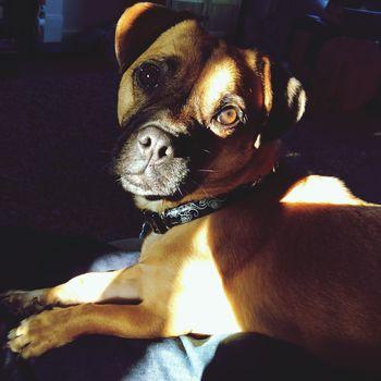 Pets Sunlight Eyes Doglife
