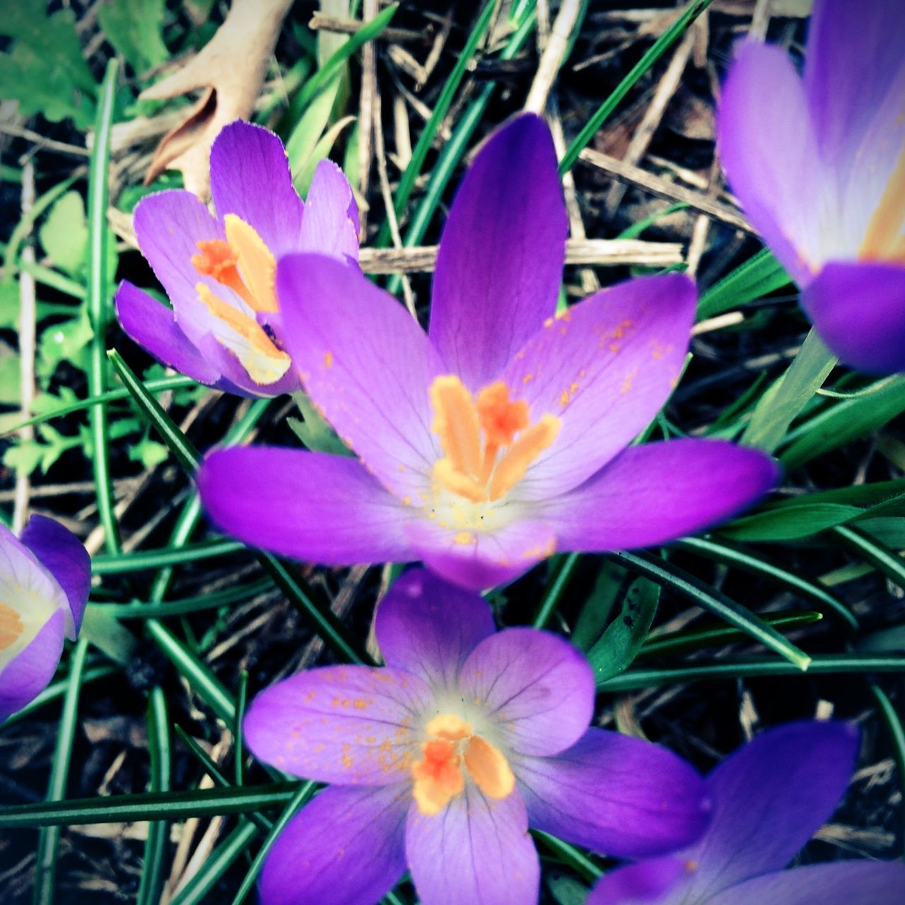 flower, petal, growth, beauty in nature, fragility, nature, flower head, purple, no people, plant, freshness, blooming, close-up, outdoors, day, crocus