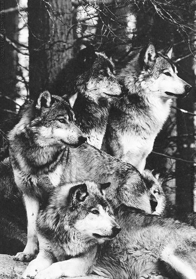 Wolf Animal Wolfs  Animals