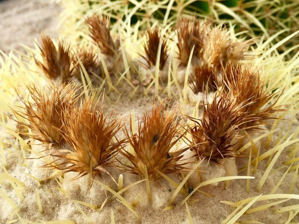 Beauty In Nature Close-up Day Dried Dry Field Flower Flowering Plant Focus On Foreground Fragility Freshness Grass Growth Land Nature No People Outdoors Plant Sharp Spiked Spiky Vulnerability