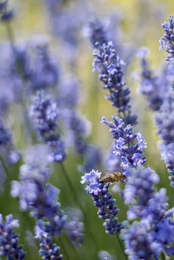 Lavender Freshness Shallow Depth Of Field Beauty In Nature Beauty In Nature Blue Close-up Day Field Flower Flower Head Flowering Plant Flowers Fragility Freshness Garden Photography Growth Honey Bee Insect Photography Lavender Nature Plant Purple Selective Focus Vulnerability