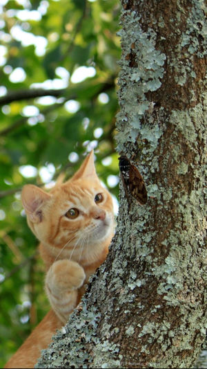 Cat looking at cicada on tree trunk