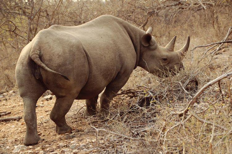 Rhino Animals
