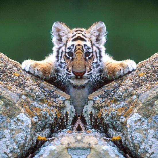 Chatons tigre
