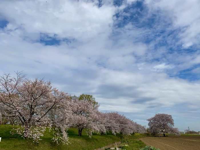 Cherry blossom trees on field against sky