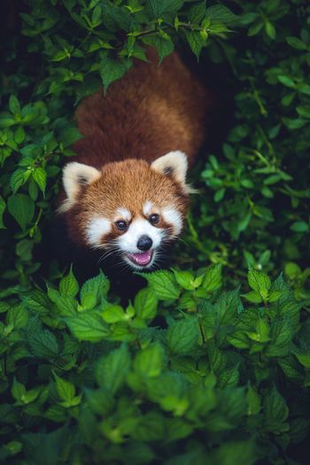 Animal Animal Themes Mammal One Animal Plant Animal Wildlife Green Color Animals In The Wild Leaf Vertebrate Plant Part No People Nature Looking At Camera Portrait Tree Day Red Panda Outdoors Growth