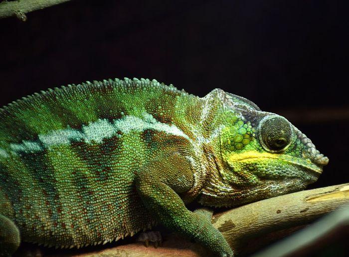 kameleon Kameleonzph Skameleon Prilaga Kameleon Kameleons Reptile Reptiles Colorfull