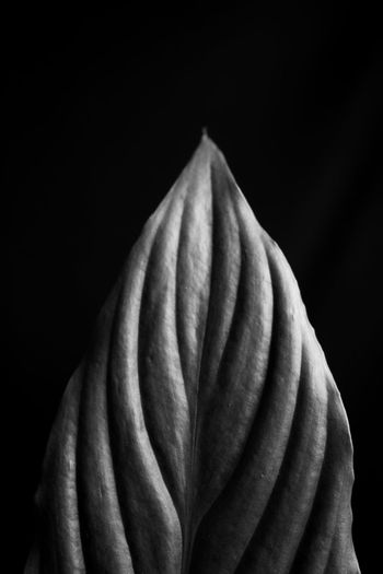 B&w Beautiful Black & White Delicate Delicate Beauty Elegant Flowers Leaf Leafs Life Plant Texture Veins Veins In Leaves Youth