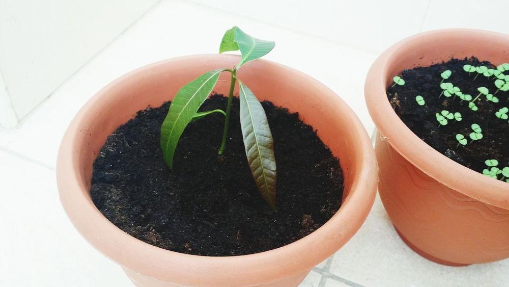 EyeEm Selects Indoors  Plant Studio Shot No People Growth Close-up Food Day Mango Plant Basilic