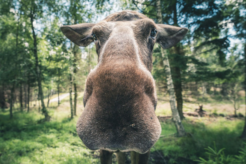 Close-up portrait of moose against trees