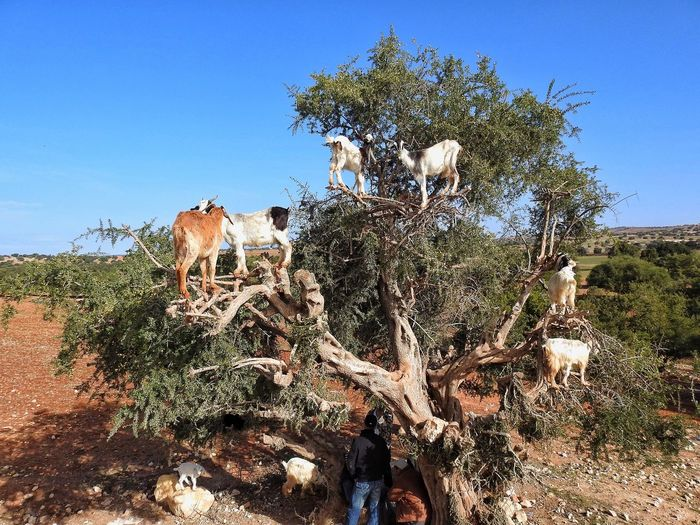 Check This Out Argan Fruit Argan Seed Hanging Out Goats Goats In A Tree Tree Hello World Enjoying Life Morocco Argan Du Moroc