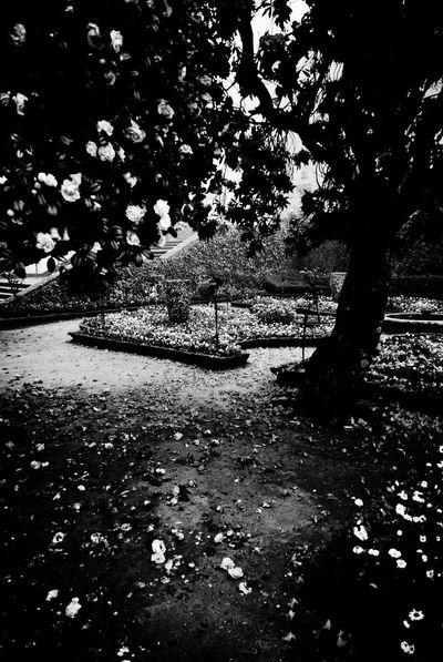 Tree roses at Bom Jesus do Monte in Braga, Portugal. Bomjesus Braga Portugal Foggyday Fog Foggy Morning Foggy Roses Rose Tree Black&white Black & White B&w Blackandwhite Black And White B&w Photography Blackandwhite Photography Blackandwhitephotography Rose Garden Garden Garden Photography
