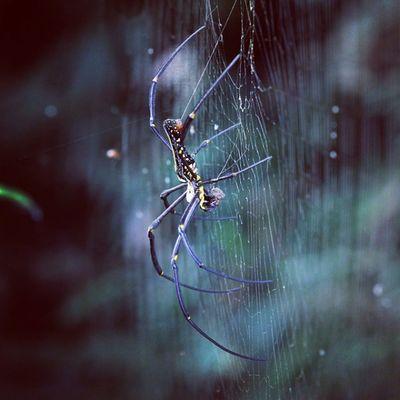 Lancah maung. Spider Spiderworld Ig_spiders Ig_spider labalaba lancah lancahmaung tgif_macro instagaruda_macro macrophotography