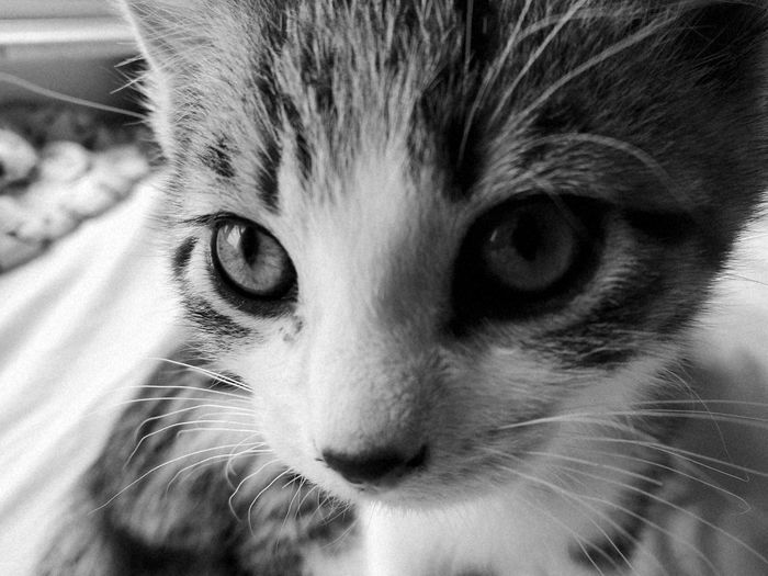 Pets One Animal Looking At Camera Feline Animal Whisker Eye Close-up Cute Indoors  Cat Kitten Taking Photos Photography Home Homelife Purr Blackandwhite