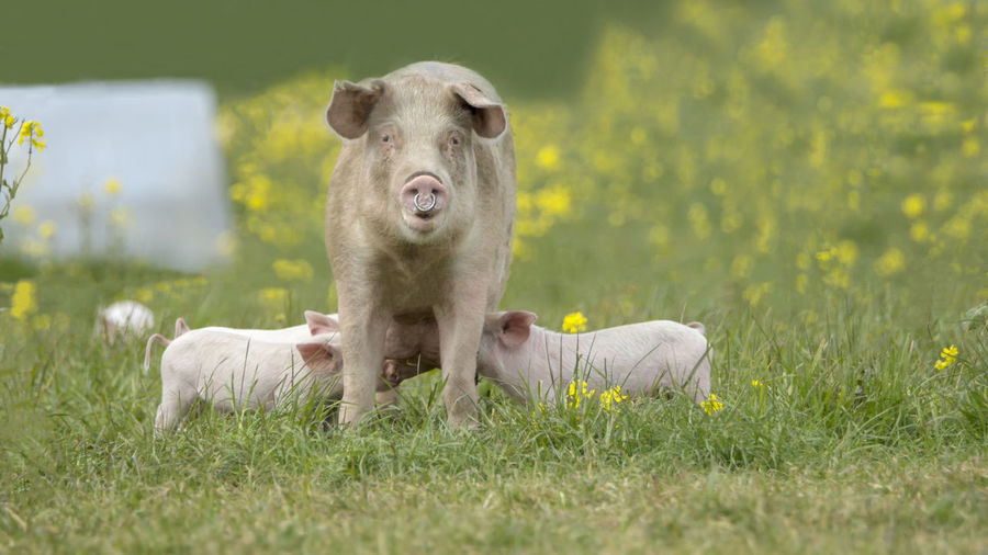 Happy pigs on a blossoming meadow in spring in Denmark Group Of Animals Animal Themes Grass Plant Animal Mammal Livestock Pig Piglet 🐷🐽 Pork Piggy♥ Happy Farm Life Farm