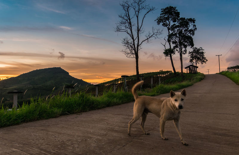 Dog on road against sky during sunset