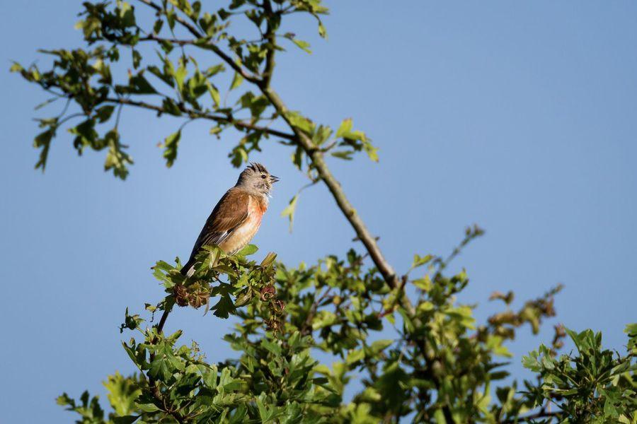 Linnet Bluthänfling Birds Birds Of EyeEm  Bird Watching Bird Photography EyeEm Nature Lover Beauty In Nature North Germany Germany Nature Wildlife Wildlife & Nature Wildlife Photography Animals Bird Stiftungsland