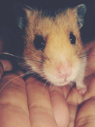 My sis hamster Julian Hamster