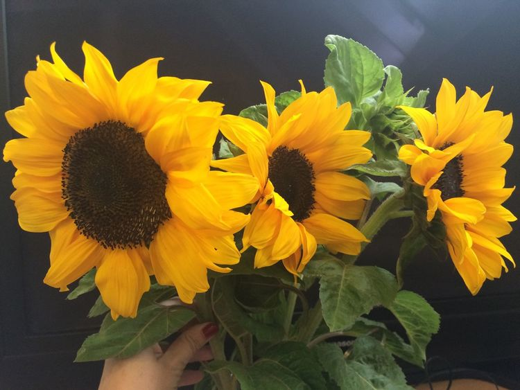 Flowers Office Taking Photos Great Atmosphere Enjoying Life Sunflower Sunflowers🌻 🍭🍯🍏🍑🍆🍊🍇🍓🍒 Nature Taking Photos