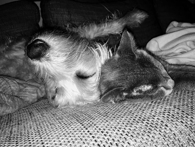 Grey & Fine II Pets Domestic Animals Mammal Animal Themes Lying Down No People Dog Close-up Togetherness Friendship Friends Cat And Dog Dog And Cat Best Friends Love ❤️ Friends Indoors  Couch Potato Symbiotic Relationship Pet Love Black & White Greyscale Blackandwhite Cats Cat