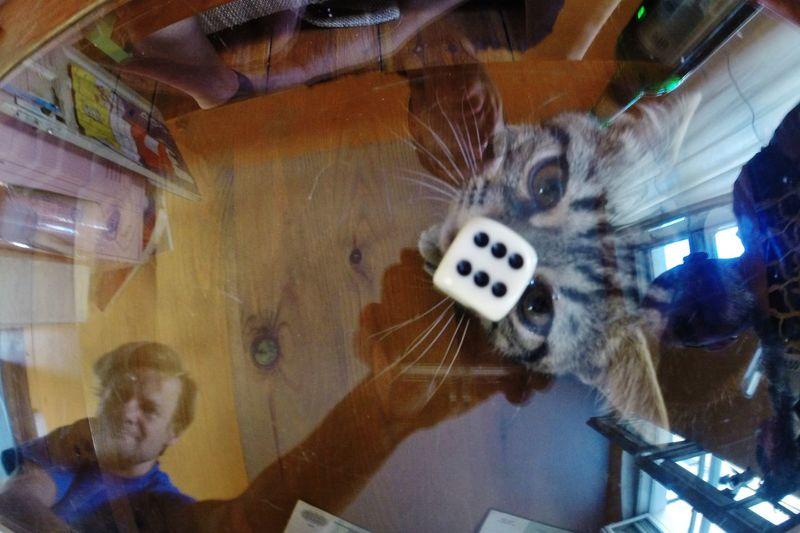Cat Domestic Animals Katze Lifestyles Malefiz Pets Tisch Würfel