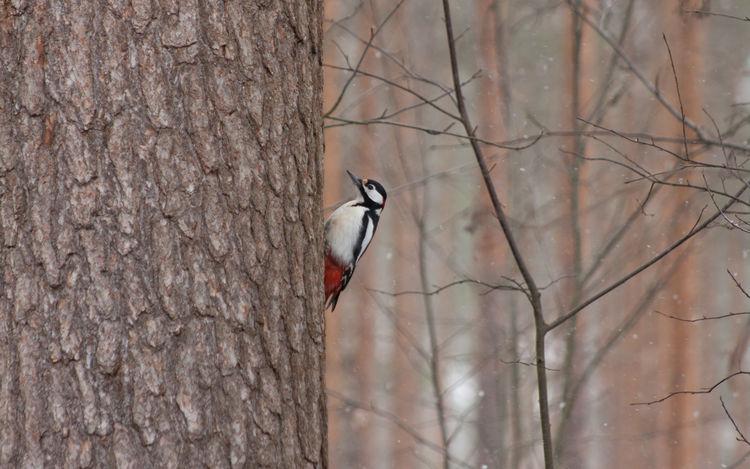 15.4.2017, woodpecker. Bird Animals In The Wild Animal Wildlife Perching Bare Tree Tree One Animal Day Outdoors Winter Woodpecker Nature Beauty In Nature Dendrocopos Major