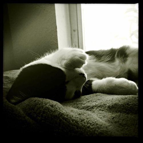 soaking up the sun Cat Blackandwhite Black And White Cat Furry Sweet Nap Time