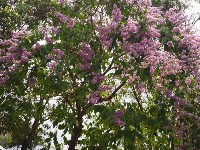 อินทนิล ออกดอกสีม่วงบานสะพรั่งสวยงามมาก Summer ☀