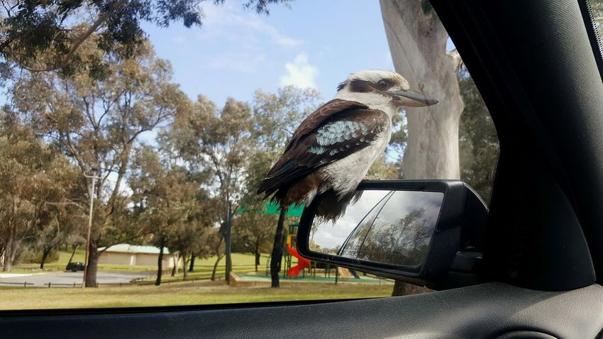 A visit from a kookaburra Kookaburra Kookaburra Photography Birds Of EyeEm  Bird Birds Bird Photography Birds_collection Birds🐦⛅ Tree Cloud - Sky Animal Themes Outdoors Close-up Car Mirror Park Friendly Friendly Bird Feathers