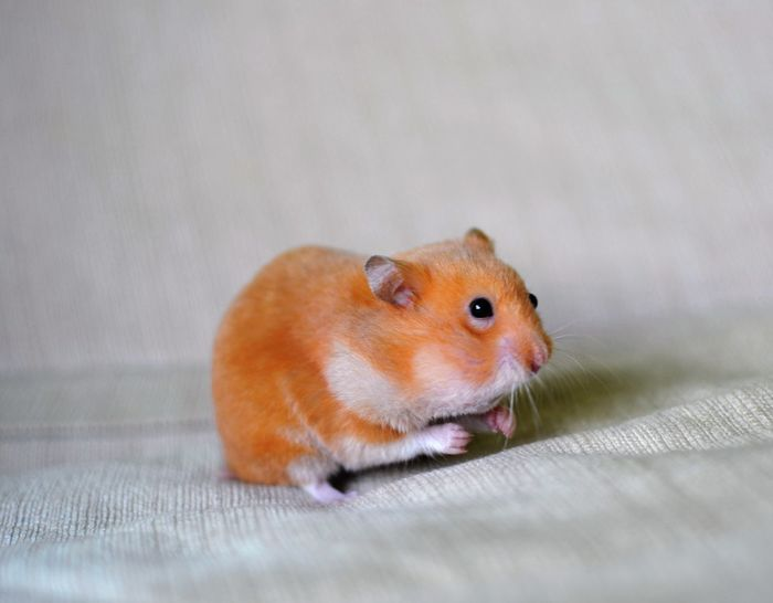 Animal Animal Photography Animal Portrait Animal Themes Cute Cute Pets Eating Hamster Hamster Love Hamster ♡ Happy Hamster Nut Omnomnom Orange Orange Color Stuffing Stuffing His Face Showcase March Animals Animal Love Animal_collection Animallovers Animalphotography