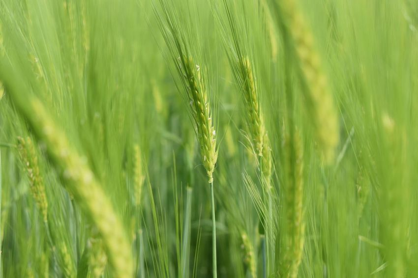 Green Color Plant Growth Beauty In Nature Nature Agriculture Crop  Backgrounds Freshness Farm Land Close-up Grass Full Frame Tranquility Field Day Rural Scene No People Cereal Plant
