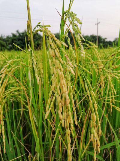 Rice in rice