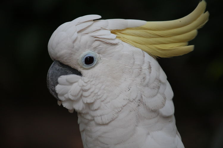 Animal Closeup Animal Themes Animal Wildlife Animals In The Wild Beak Bird Close-up Cockatoo Day Feather  Nature No People One Animal Outdoors Parrot White Color
